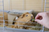 A Guinea pig in a cage being fed by its owner hand.