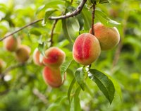 Stone fruits must split their shucks to develop.