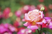 "Roses are often referred to as the ""Queen of the Flowers."""