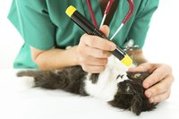 A cat is getting examined by a vet.