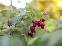 Ripe raspberries hanging from a plant.
