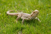 Bearded dragon on grass field.