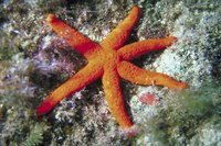 Starfish often rely on corals for refuge.