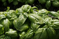 Cold-sensitive basil grows best with plenty of hot sun.