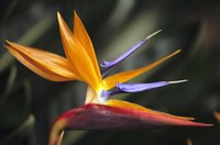 Bird of paradise flowers also work well as cut flowers.