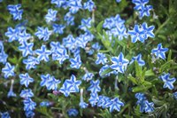 Lithodora grows well in rockeries and at the edge of flower beds.