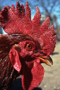Roosters can be very aggressive and dominant.