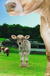 Dairy heifers usually give birth to their first calves when they are 23 to 25 months old.