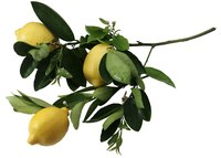 Lemons are ornamental and can be used as a garden specimen or evergreen screen.