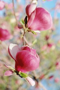 Magnolia trees produce colorful, attractive flowers every year unless they are exposed to freeze damage.