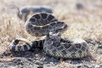 Rattlesnakes too close to your house can be dangerous.