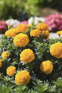 Marigolds bloom in white, yellow, gold, orange and red.