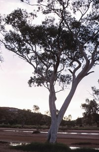 Some eucalyptus trees have a minty fragrance similar to menthol.