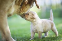 Purebred golden retriever puppy on lawn with mother