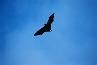Bats: the only flying mammals.