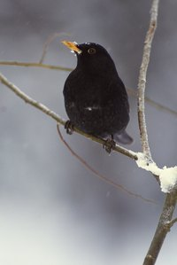 Blackbirds are common cat prey.