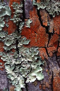 Lichens are a combination of a fungus and an alga.