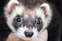 Ferrets are carnivores; they require a meat-based diet.