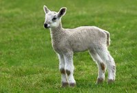 A young lamb standing grass.
