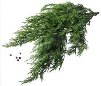 Ornamental juniper plants add feathery texture to the landscape.