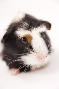 Guinea pigs come in many color variations.
