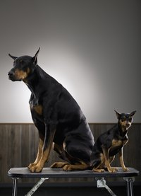 Canine parvovirus notably is prevalent in Doberman pinschers.