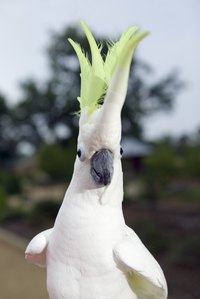 Like this cockatoo, a cockatiel's crest will stand straight up when he is alarmed.
