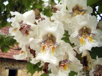 A close-up of white blossoms on a Catalpa tree.