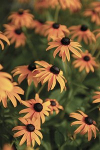 Brown-eyed Susans bloom during the spring and summer.