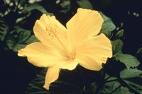 Hibiscuses are susceptible to aphid infestations.