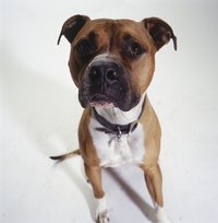 American Staffordshire terriers often live 14 years or more.