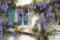 Wisteria vine growing up the side of a house.