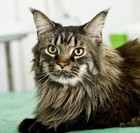 Maine coon cats originated in the United States.