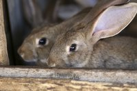 Most rabbit eye infections are treatable.