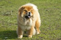 Check the overall condition of your chow chow's skin each time you groom him.