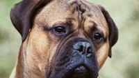 How to Start a Business Breeding Mastiffs