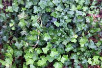 How To Clone Ivy For Cheap Ground Cover Ehow