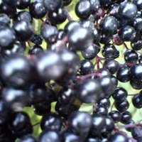Is Elderberry Toxic Ehow