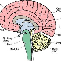 Parts Of The Brain And What They Do What the Different Par...