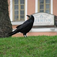 how to get rid of ravens in your yard