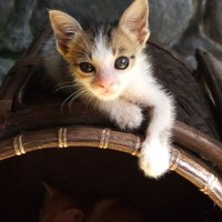 how to get rid of fleas on young kittens