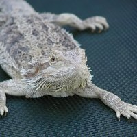 How Can I Tell If A Bearded Dragon Is Pregnant Ehow
