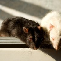 How To Get Rid Of Rats In The Roof Ehow