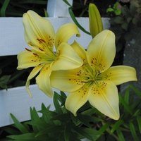 How To Remove Lily Stamen Stains From Carpet Ehow