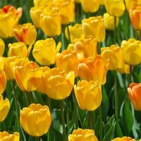 When do you plant tulip bulbs in texas ehow for Tulip garden in texas