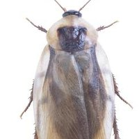 How to Get Rid of Flying Roaches | eHow