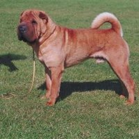 How To Cures For Shar Pei Hotspots Ehow