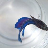 How to change betta fish water ehow for Betta fish water change