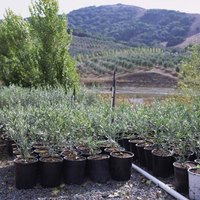 How to make an olive tree topiary ehow for Pruning olive trees in pots