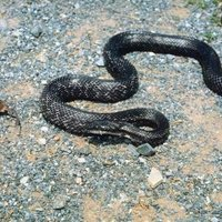 How To Get Rid Of Black Snakes In Central Florida Ehow